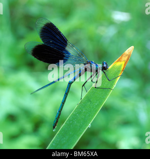 Beautiful Demoiselle (Calopteryx virgo) resting on a leaf. - Stock Photo