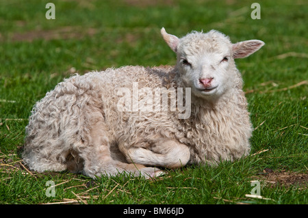 Lamb, Domestic Sheep, Ovis aries - Stock Photo