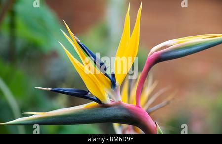 Strelitzia reginae. Crane Flower, Bird of Paradise flower. UK - Stock Photo