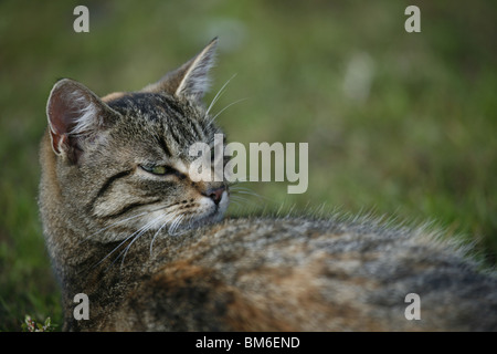Hauskatze Portrait / domestic cat portrait - Stock Photo
