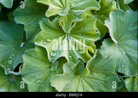 Water droplets on lady's mantle (alchemilla mollis) leaves - Stock Photo