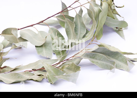 Dried eucalyptus leaves on a branch on white background - Stock Photo