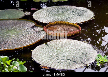 The Victoria Longwood Hybrid Nymphaeacaea water lily inside the Dundee Botanic Gardens,UK - Stock Photo