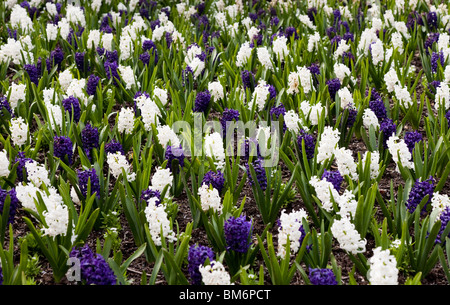 White and blue Hyacinth for background - Stock Photo