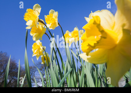 Daffodils in Clappersgate churchyard in Spring, Lake District, UK. - Stock Photo