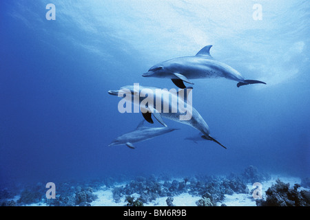 dolphin family swimming near the surface - Stock Photo