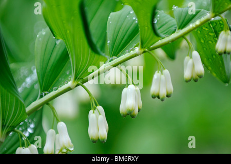 Solomon's Seal: Polygonatum x hybridum - Stock Photo