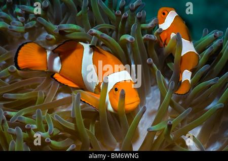 False clown anemonefish (Amphiprion ocellaris) in host anemone. Misool, Raja Ampat, West Papua, Indonesia. - Stock Photo