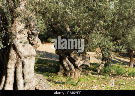In Majorca, some hundred-year-old olive trees (Balearic islands - Spain). Quelques oliviers centenaires, à Majorque - Stock Photo