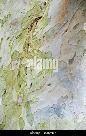 Eucalyptus pauciflora niphophila. Snow gum tree bark. UK - Stock Photo