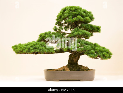 bonsai tree on display against white in clay pot with interesting shape in the studio, green leaves, Japanese hobby - Stock Photo