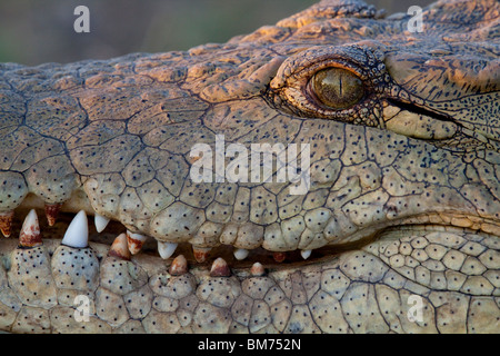 Nile Crocodile (Crocodylus Niloticus). - Stock Photo
