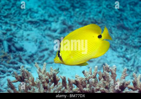 Yellow butterflyfish (Chaetodon andamanensis). Andaman Sea, Thailand. - Stock Photo