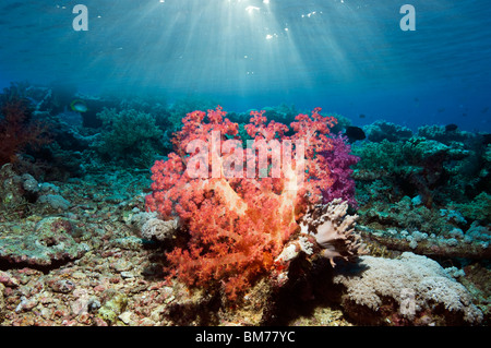 Soft coral (Dendronepthya sp) on reef. Red Sea. - Stock Photo
