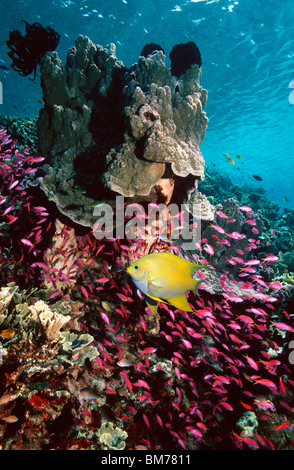 Golden damsel and Yellowstriped anthias over coral reef.  Indonesia. - Stock Photo
