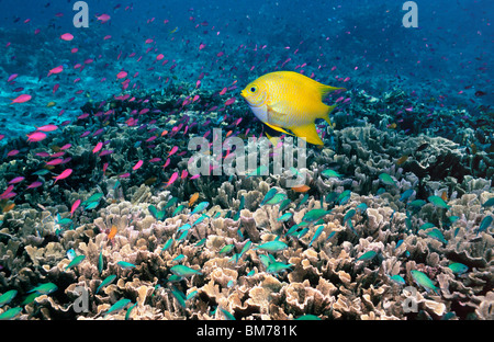 Golden damsel over coral reef with Anthias and Chromis.  Bunaken, Indonesia. - Stock Photo