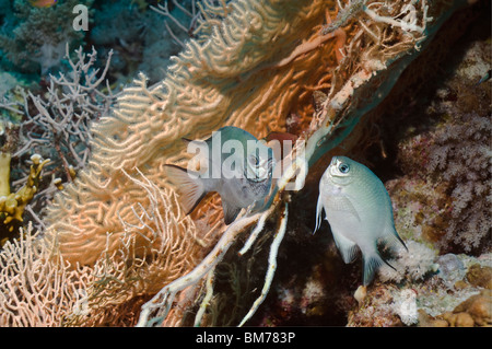 White-belly damsel (Amblyglyphidodon leucogaster) pair spawning on gorgonian.  Egypt, Red Sea. - Stock Photo