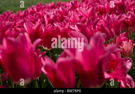 Blooming deep satin rose Mariette tulips in Holland Michigan low angle - Stock Photo
