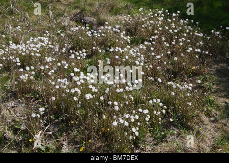 Coltsfoot (Tussilago farfara) plants in seed - Stock Photo