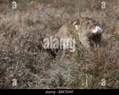 Roe deer (Capreolus capreolus) buck showing fight damage to body - Stock Photo