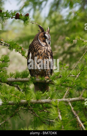 Long eared owl(Asio otus) perching in larch tree - Stock Photo