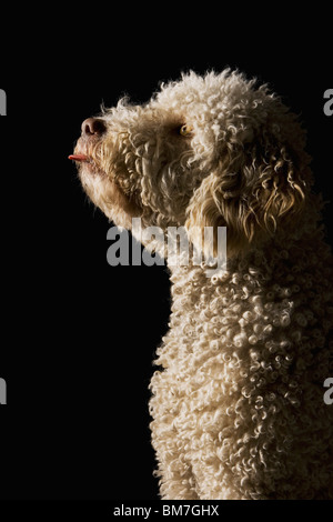A Portuguese Waterdog sticking its tongue out - Stock Photo