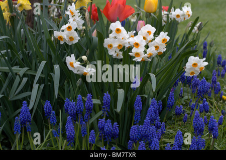 Grape Hyacinth Muscari  with daffodils and tulips - Stock Photo