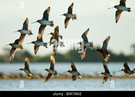 Flock of Bar-tailed Godwits Limosa lapponica New Zealand - Stock Photo