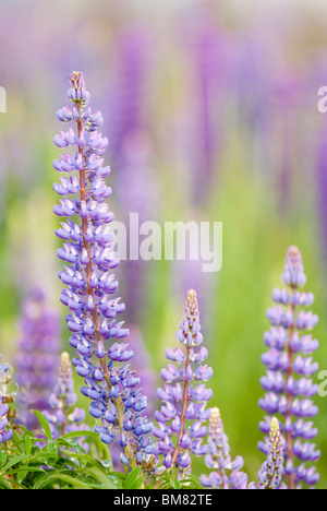 Lupin Lupinus polyphyllus or Russell Lupin, New Zealand