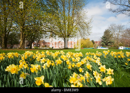 Spring daffodils along the banks of the River Thames in Abingdon, Oxfordshire, Uk - Stock Photo