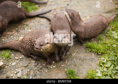 UK, England, Cornwall, North Petherwin, Tamar Otter and Wildlife Centre, Asian short clawed otters - Stock Photo