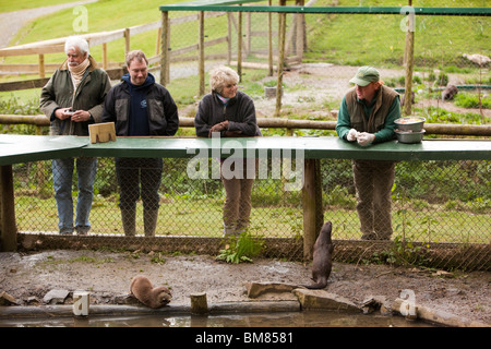 UK, England, Cornwall, North Petherwin, Tamar Otter and Wildlife Centre, Asian short clawed otters at feeding time - Stock Photo