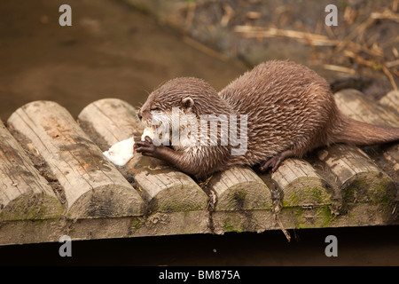 UK, England, Cornwall, North Petherwin, Tamar Otter and Wildlife Centre, Asian short clawed otter feeding - Stock Photo