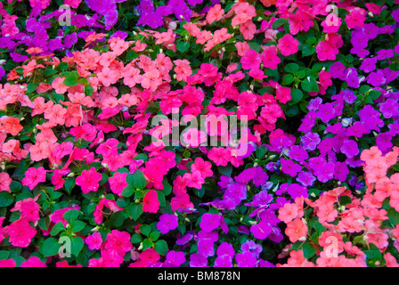 Impatiens flowers in sidewalk planters on Las Olas Boulevard in city center of Fort Lauderdale, Florida, USA - Stock Photo