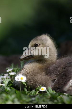 Greylag Goose (anser anser) gosling enjoys the sunshine at Slimbridge. - Stock Photo