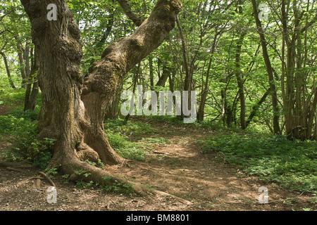 Ancient woodland at Aysgarth, North Yorkshire, UK - Stock Photo
