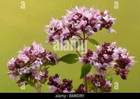 Oregano, Wild Majoram (Origanum vulgare), flowering. - Stock Photo
