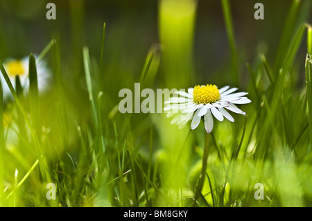Daisy - Stock Photo