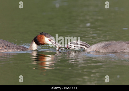 Adult Great Crested Grebe feeding chick with a fish - Stock Photo