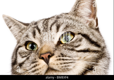 Close up portrait of a male British shorthair silver tabby cat against a pure white (255) background. - Stock Photo