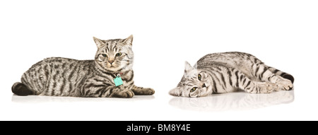 Portrait of two male British shorthaired silver tabby cats (brothers) lying down against a pure white (255) background. - Stock Photo