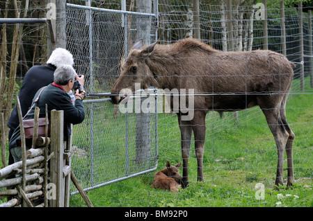 Visitors photographing cow moose and calf Alces alces alces in Moosepark Groenaasen near Kosta, Jonkopings Lan, - Stock Photo