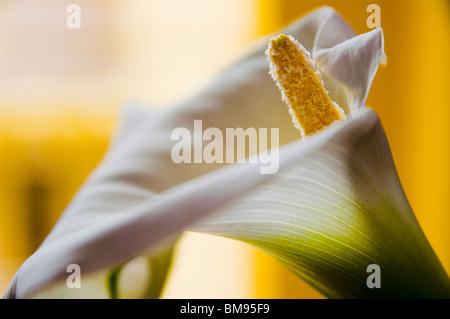 Macro against the spadix of a Calla (Zantedeschia aethiopica) also known in Italian donna in camicia,  yellow background - Stock Photo