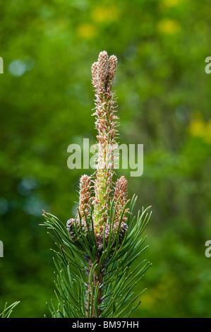Mountain Pine | Pinus mugo - Stock Photo