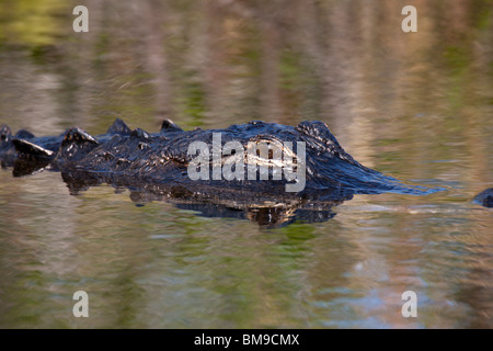 Close-up of eye and reflection of endangered Alligator swimming in calm waters of Everglades National Park Florida - Stock Photo