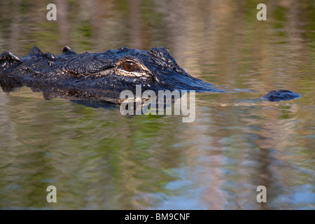 Close-up detailed profile alligator head, eye and snout reflection in water swimming, floating in calm waters of - Stock Photo