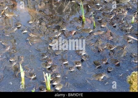 Group of European frogs (Rana temporaria) mating between the eggs in the water at spring - Stock Photo