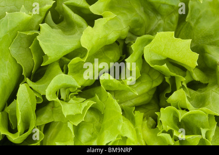 close up of a fresh green lettuce background - Stock Photo