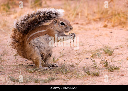 African Ground Squirrel eating