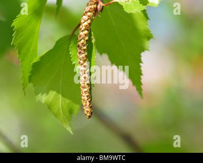 Spring green birch macro - new life concept - Stock Photo